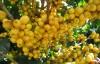 Желтый бурбон - лучший бразильский кофе